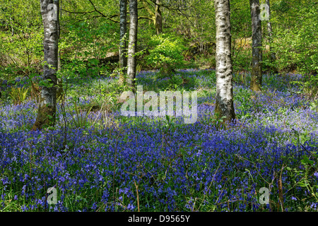 Sunny Afternoon in the Blue Bell Woods - Stock Image