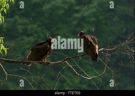 Vultures on a tree branch in the rain - Stock Image