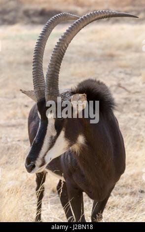 Africa, Namibia, Windhoek, Okapuka Ranch. Close-up of sable antelope. Credit as: Wendy Kaveney / Jaynes Gallery - Stock Image