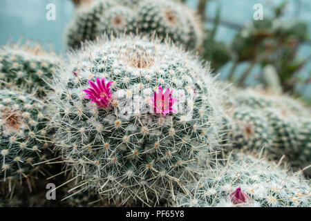 A close up view of a cactus with small pink flowers. - Stock Image