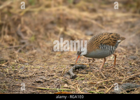 Water rail, late winter at he edge of a Somerset reedbed - Stock Image