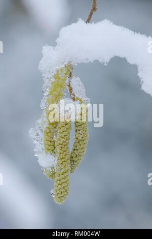 Hazel, Corylus avellana, catkins in snow, February, UK - Stock Image