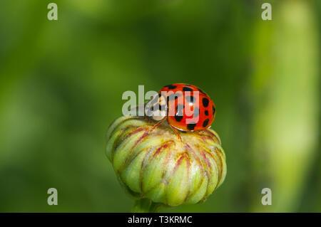 An Asian Lady Beetle (Coccinellidae) on a Shasta Daisy bud (Leucanthemum x superbum) - Stock Image