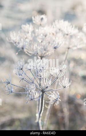 Stirlingshire, Scotland, UK - 2 January 2018: uk weather - frosted wild flowers sparkle in the sunshine on a very cold morning in Stirlingshire, Scotland - Stock Image