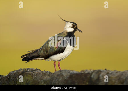 Northern lapwing (Vanellus vanellus) standing on a stone wall in morning light showing irridescent plumage - Stock Image