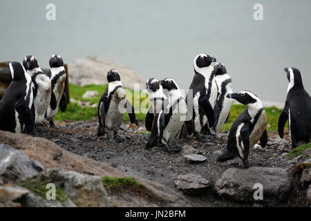 African penguin or Jackass Penguin (Spheniscus demersus) at the penguin colony of Stony Point, getting curious about visitors - Stock Image