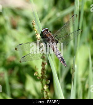 European Scarce chaser dragonfly (Libellula Fulva) in closeup - Stock Image