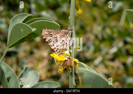 Ella's bar butterfly (Cigaritis (=Spindasis =Aphnaeus) ella: Lycaenidae) feeding on flower accompanied by chafer - Stock Image