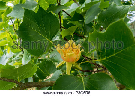 A close-up of the yellow flower of a Tulip tree (Liriodendron tulipifera) - Stock Image