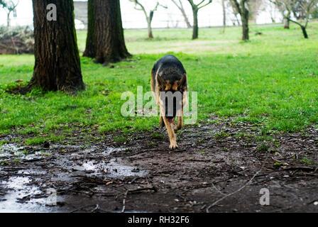 German shepherd dog at the park. - Stock Image