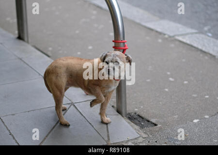 A small dog tied up outside a supermarket - Stock Image