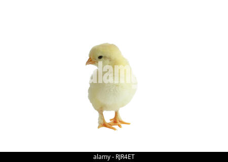 Cute little yellow French Splash Copper Maran chicken / chick isolated over a white background. - Stock Image