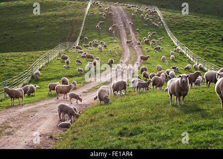 Australian sheep backlit on a farm road. - Stock Image