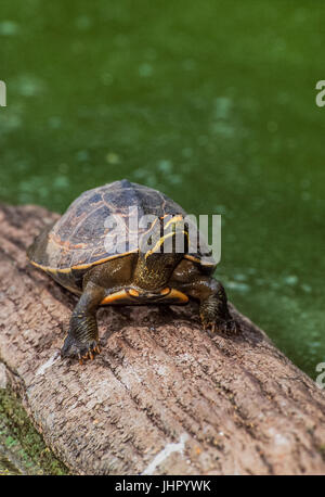 Crowned river turtle also known as  Brahminy river turtle, (Hardella thurjii), Keoladeo Ghana National Park, Bharatpur, - Stock Image
