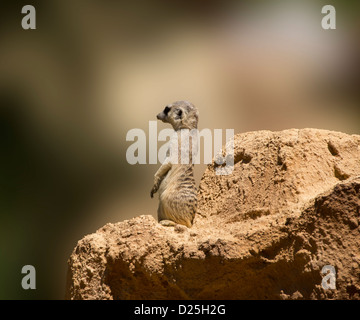 A suricata stands guard. - Stock Image