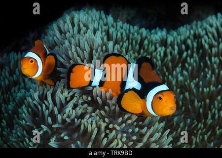 Paar Clown Anemonenfische, Amphiprion percula, Lissenung, New Ireland, Papua Neuguinea   Pair of Clown Anemonefishes, Amphiprion percula, Lissenung, N - Stock Image