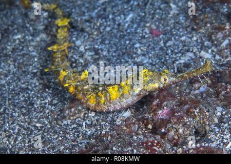 Winged pipefish [Halicampus macrorhynchus] unable to swim, slithers along seafloor of Lembeh Straits, Indonesia. - Stock Image