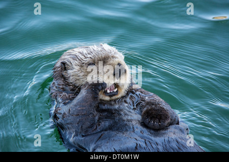 Cute Sea Otter, Enhydra lutris, lying back in the water and yawning with paw to his face, Seldovia Harbor, Alaska, USA - Stock Image
