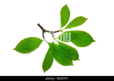 magnolia branch with leaves isolated on white background - Stock Image