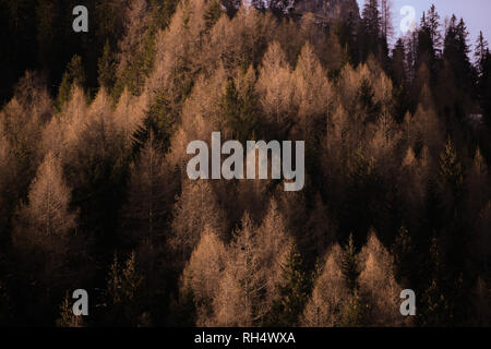 Beautiful autumn Alpine coniferous forest - Woods with firs, larches. - Stock Image