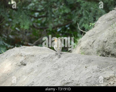 Tiny robin-Rubecula Erithacus on a mound of earth - Stock Image