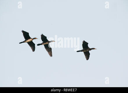 group of Great Cormorant, Phalacrocorax carbo, in flight over Brent Reservoir, London, United Kingdom - Stock Image