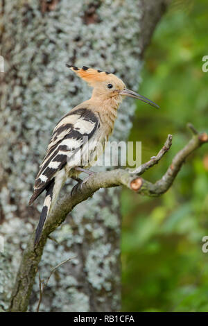 Hoopoe, Latin name Upupa epops, perched on a branch in shaded woodland - Stock Image