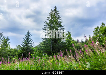 Landscape with spruce and glade with blooming fireweed in the mountain. - Stock Image