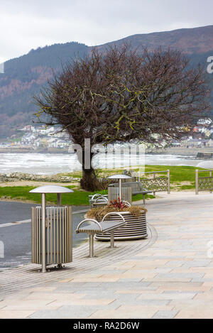 This wonderful windswept tree in the centre of Newcastle County Down is a beautiful example of nature's talent - Stock Image