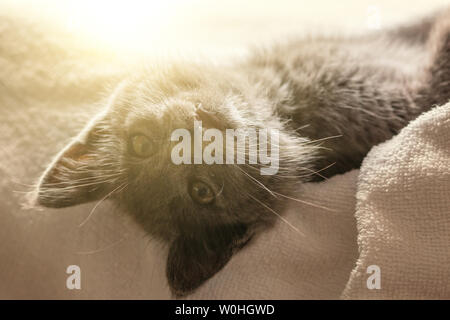 cute domestic kitten lying on white towel with sunbeam on background. suitable for animal, pet and wildlife themes - Stock Image