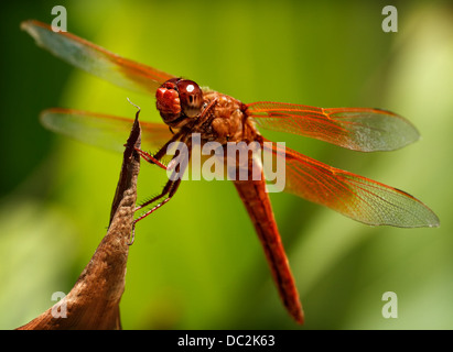 A macro stock image of an orange dragonfly. - Stock Image
