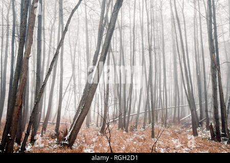 Misty forest in the winter with barenaked trees covered in fog on a cold day in january - Stock Image