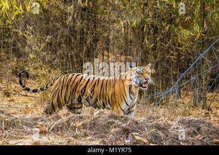 Wild adult Female Bengal Tiger, Panthera tigris tigris, with full nipples, calling for her cubs, Bandhavgarh Tiger - Stock Image