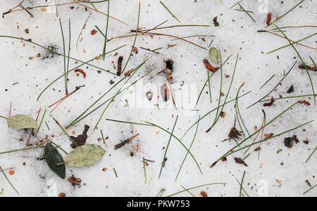 Pine needles and leaves on the snow covered ground in a wood. - Stock Image