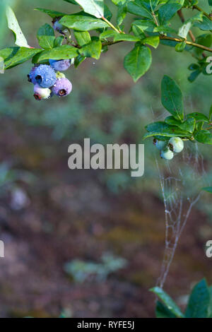 Nature's pest control viewed as a spiderweb stretched on a blueberry bush with ripening blueberry clusters on a day in early summer - Stock Image