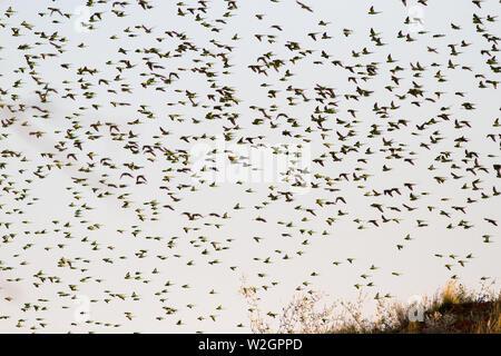 Australian Budgerigar flock in western Queensland - Stock Image