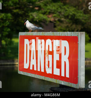 A common tern carefully watching for fish, standing on a DANGER sign by a weir along the River Thames, near Henley, - Stock Image