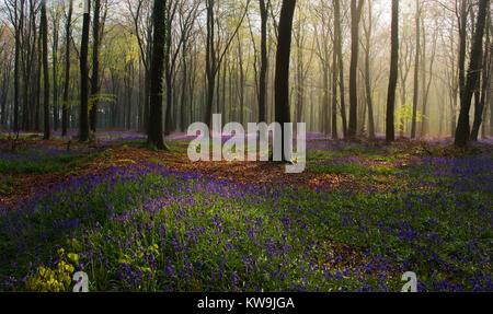 Bluebells in Beechwood - Stock Image