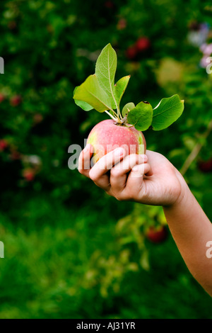 Young girls hand holding a red MacIntosh apple - Stock Image