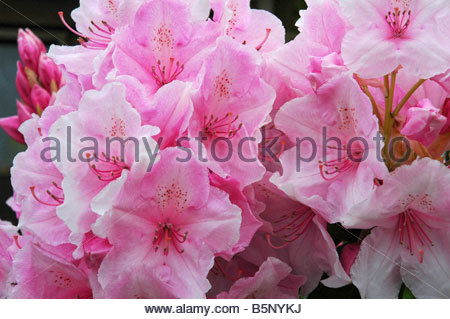 Rhododendron Pink Pearl - Stock Image