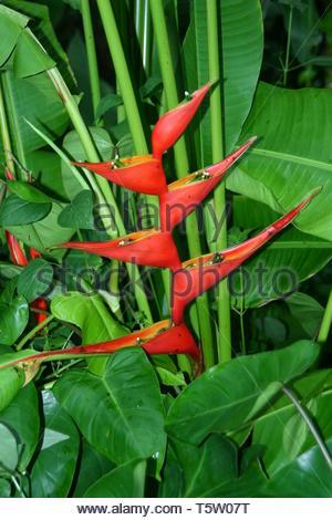 Wild Plantain Opened (Heliconia Caribaea) - Stock Image
