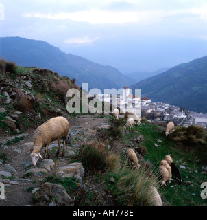 Sheep grazing Capileira Alpujarras Village in Sierra Nevada Mountains Andalucia in Southern Spain  KATHY DEWITT - Stock Image
