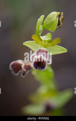Sombre Bee-orchid, Ophrys fusca subsp. dyris, Andalusia, Southern Spain - Stock Image