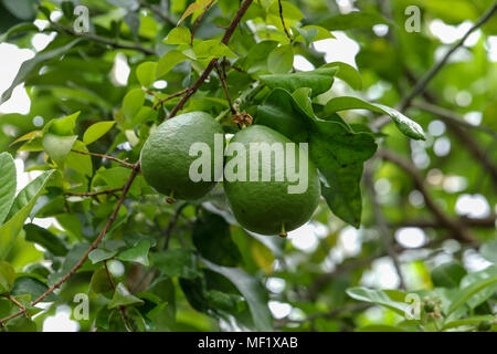 Close Up images of Pomelo Fruit at Phipps Botanical Garden - Stock Image