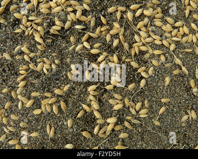 rice rice harvest grains of rice - Stock Image