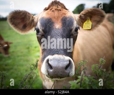 The head and face of a dairy cow in a field looking directly at the camera in a close up portrait of a funny animal image - Stock Image