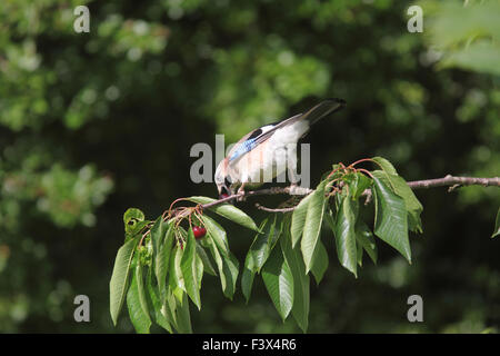 Taking cherry from tree Carmarthenshire June 2015 - Stock Image