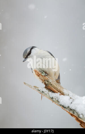 Scandinavian nuthatch, Latin name  Sitta europaea, showing pale breast and underbelly in winter with snow falling - Stock Image