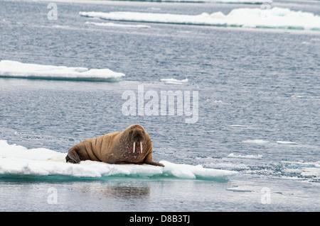Walrus, Odobenus rosmarus, sitting on a piece of ice, SE of Wilhelmaya, Svalbard Archipelago, Norway - Stock Image