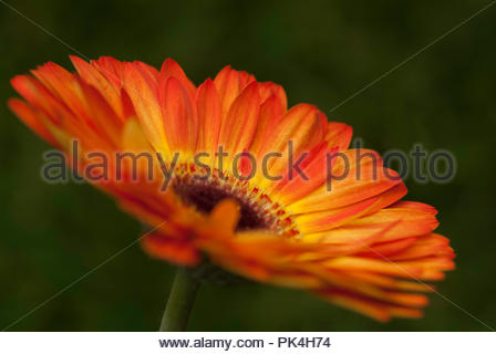 Beautiful Chrysanthemum Flower - Stock Image